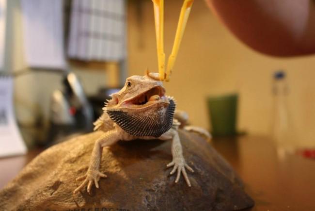 Feeding A Bearded Dragon - Dubai Kennels & Cattery (DKC)