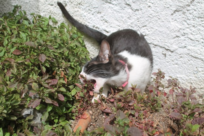 Cat eating plants