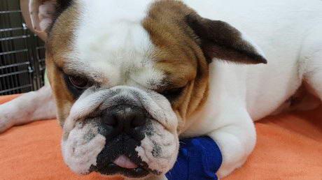 A Dog's VERY BIG Ear!